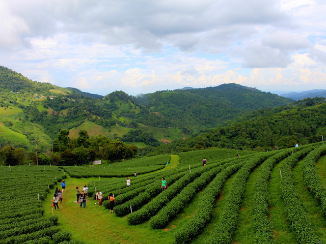 Tea plantations surrounded by lush green mountains in northern Thailand